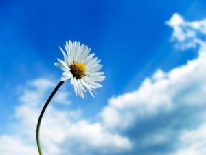 daisygaensebluemchen