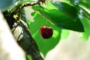 kirschbaum - Früchte, Drucker und das Gesetz der Anziehung